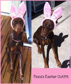 My 9 month old doberman Fiona with bunny ears ♥♥♥♥