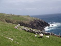 Sheep in the rough nature on the Dingle peninsula in Ireland.
