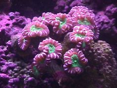 candycane coral | genelee.com - torch coral, torch coral, candy cane coral, colt coral