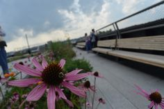 A bee busy at work on the High Line in New York City.