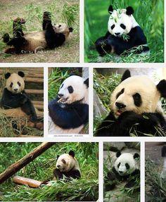 Pandas are Sichuan Native
