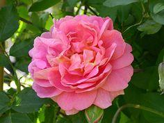 Svenska rosor