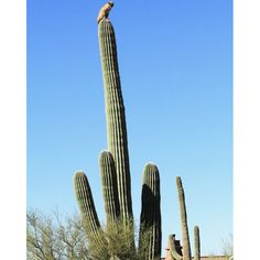 This bobcat leapt 50 feet up a prickly cactus and stayed there for six hours to escape from a mountain lion in the Sonoran Desert, Gold Canyon, Arizona, United States. Funny Cats, Funny Animals, It's Funny, Wild Animals, Tall Cactus, Desert Life, Cactus Y Suculentas, Fauna, Cacti And Succulents