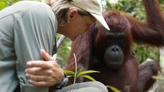 After a two-year break Lone Dröscher Nielsen returns to Borneo to meet the orangutans and the centre she founded 13 years ago. The time we have all waited for has come, to release the centres very first forest students into the rainforest.