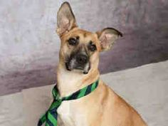 """""""YELLOWSTONE"""">>>PITTSBURGH, PA>>>YELLOWSTONE is an adoptable Labrador Retriever Dog in Pittsburgh, PA. Do you need something old and faithful in your life? Well, Yellowstone is pretty young, but we think hell be faithful to his forev..."""