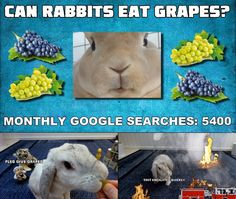 Rabbits can safely eat grapes as an occational treat. Your pet rabbit will most likely love this sweet and juicy fruit, but as with all sugary fruits, grapes. Rabbit Diet, Rabbit Eating, Rabbit Food, Pet Rabbit, Can Rabbits Eat Grapes, Ask A Vet, Bunny, Times, Canning
