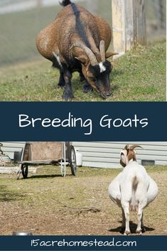 Learn all about breeding goats on the homestead, from breeding to birth!