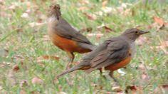 Casal, O namoro do Sabiá laranjeira, Turdus rufiventris, Aves Brasileira...
