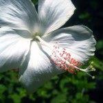 white-hibiscus