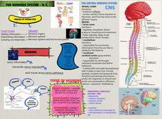 The central nervous system (CNS) is the part of the nervous system consisting of the brain and spinal cord. The peripheral nervous system (or PNS), is composed of nerves leading to and from the CNS, often through junctions known as ganglia. #Glogster #NervousSystem #HumanAnatomy