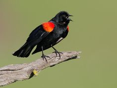 Red-winged Blackbird ... nice pic,   we usually only see the red when they fly away.