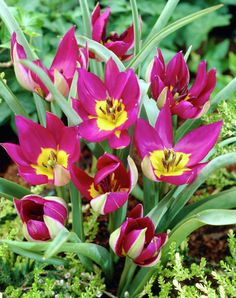 tulipan eastern star