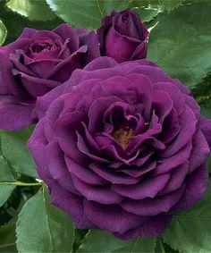 Ebb Tibe Rose