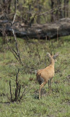 steenbok-okavango