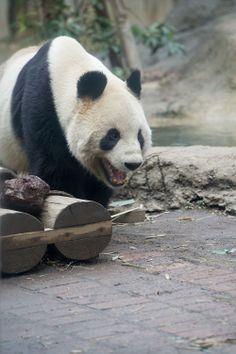 Li Li@Ueno Zoo
