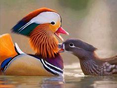 Pato Mandarin