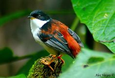 Rufous-backed Sibia, laughingthrush family, found in India, China, southeast Asia