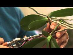 Comment bouturer les orchidées ? - YouTube