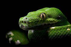 Foto meravigliose di Serpenti colorati[FOTO]