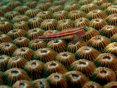 Wikipedia picture of the day on January 27 2016:  Neon triplefin (Helcogramma striatum) on Honeycomb coral (Diploastrea heliopora). Learn more.