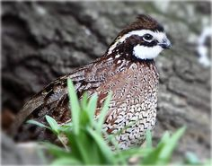 Bobwhite quail.  Georgia state game bird