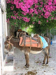 Donkey waiting in the shade of a bougainvillea, island of Hydra Greece