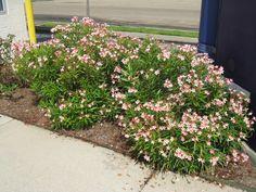 petite pink oleander - Google Search