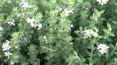 Grey Box™ Westringia is a drought tolerant native box hedge plant