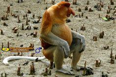 macaco holandes - Zoologia: Macaco-narigudo (Nasalis larvatus)