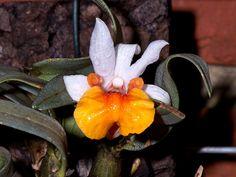 Dendrobium bellatulum - Flickr - Photo Sharing!