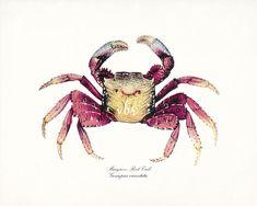 Coastal Decor Root Crab Natural History Wall by vintagebytheshore