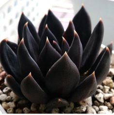 Simple Succulent Diy Ideas For 2019 Succulents % Echeveria Black Knight.♥ Photo by - Liketogirls Simple Succulent Diy Ideas For 2019 Succulents % Echeveria Black Knight.♥ Photo by - LiketogirlsSucculents % Echeveria Black Knight.♥ Photo by - Black Succulents, Cacti And Succulents, Planting Succulents, Cactus Plants, Garden Plants, House Plants, Planting Flowers, Garden Cactus, Succulent Arrangements