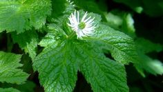 Information on the Side Effects and Health Benefits of the Herb Golden Seal (Hydrastis canadensis) and Its Common and Tradtitional Uses in Herbal Medicine