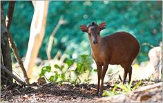 https://flic.kr/p/wVnhp8 | Natal Red Duiker | Natal Red Duiker (Cephalophus natalensis) in Pigeon Valley Nature Reserve | Flickr Photo by errol_douwes.