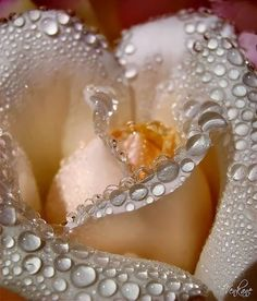 """Dew on peach rose. """"How cunningly nature hides every wrinkle of her inconceivable antiquity under roses and violets and morning dew. Amazing Flowers, Beautiful Roses, My Flower, Beautiful Flowers, Flower Petals, Simply Beautiful, Dew Drops, Rain Drops, Water Drops"""