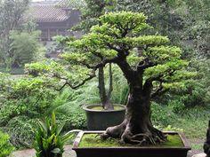 Wonderful World What a beautiful bonsai! Do you love small trees?