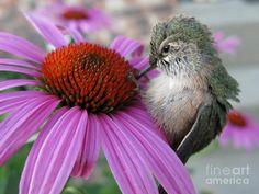 Baby Hummingbird by Stephanie Wenzl - Baby Hummingbird Photograph ...