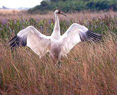 Whooping Crane. Crane Dance, Herons, Blue Heron, Big Bird, Colorful Birds, Stork, Art Studies, Long Legs, Bird Feathers