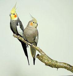 Cockatiels (Tippy & Tacky)