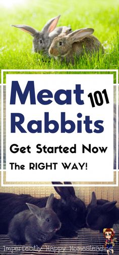 Getting Started with Meat Rabbits – everything you need to know. The perfect livestock for backyard farmers and urban homesteads! Getting Started with Meat Rab Raising Rabbits For Meat, Meat Rabbits, Keeping Chickens, Backyard Farmer, Chickens Backyard, Backyard Ideas, Rabbit Farm, Rabbit Hutches, Mini Farm