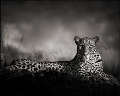 1stdibs | Nick Brandt - Leopard Staring, Masai Mara, 2010 One of my absolute favorites!!!