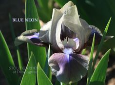 "Iris.   (""BLUE NEON (Paul Black 1989) SDB iris, 12"" (30 cm), M. HM 1992 Flowers: S. smoky oyster with orchid cast; smoky buff styles; F. iridescent red orchid at hafts, blending to orchid at edge, orchid line f."")"