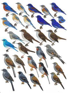 Bluebirds and Solitaires - Handbook of the Birds of the World - H. Douglas Pratt Pretty Birds, Love Birds, Beautiful Birds, Bird Identification, Bird Poster, Colorful Birds, Exotic Birds, Kinds Of Birds, Backyard Birds