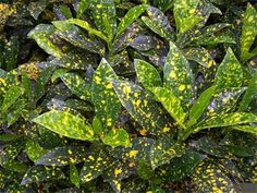 Gold Dust Croton,  Codiaeum variegatum 'gold dust'. is a very low maintenance, colorful plant for accent or massing. Tolerant of salt, drought and heat.