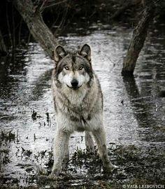 """Ich habe mich in dich verliebt. Du selber siehst dich kaputt... Ich sehe dich perfekt. Ich habe mich in dem Wolf verliebt der du bist, und nicht in einen """"normalen"""", langweiligen, netten Wolf. Denn diese Attribute sind Attribute die ich nicht ausstehen kann. Ich liebe dich eben genau für den, der du bist."""