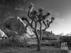 California, Joshua Tree National Park, USA Photographic Print by Alan Copson at Art.com