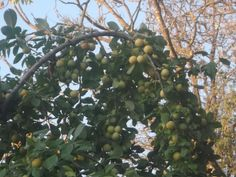 yellow plums.