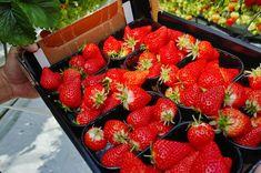 Утроить урожай клубники. Хитрости, которые приведут к рекордам в огороде Rubrics, Strawberry, Green, Sodas, Strawberry Fruit, Strawberries, Address Books, Strawberry Plant