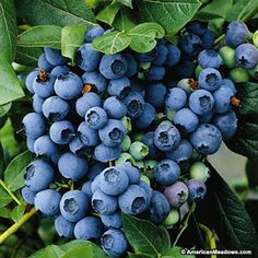 Berkeley -- This high bush blueberry produces tight clusters of very large, powder-blue berries that are great for desserts baking.