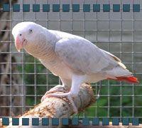 African Grey White Mutation